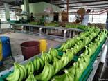 Банан Cavendish оптом из Эквадора - фото 1
