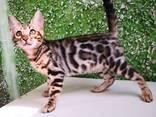 Бенгальские котята - photo 12