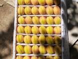 Овощи, фрукты и сухофрукты из Узбекистана - photo 4