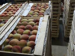Persiku eksportam/ Персики на экспортам