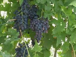 Vinogas eksportam/ Виноград на экспорт